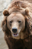 Kamchatka brown bear Stock Photos
