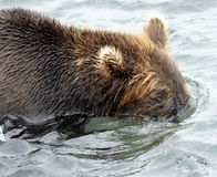 Kamchatka brown bear while fishing Royalty Free Stock Photos