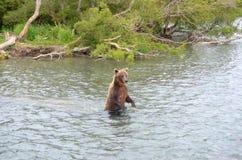 Kamchatka brown bear while fishing Stock Image