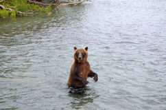 Kamchatka brown bear while fishing Stock Photo