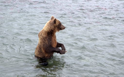 Kamchatka brown bear while fishing Stock Photo