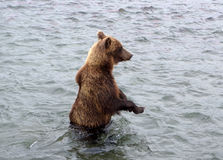 Kamchatka brown bear while fishing Stock Photos