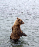 Kamchatka brown bear while fishing Royalty Free Stock Photography