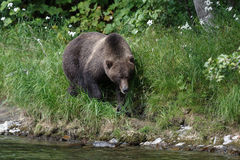 Kamchatka brown bear on the Kamchatka Peninsula Royalty Free Stock Image