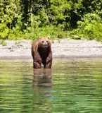 Kamchatka brown bear on the lake in summer. royalty free stock photo