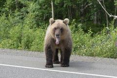 Kamchatka brown bear stands on asphalt road stock photography
