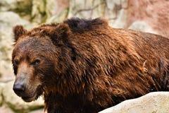 Kamchatka brown bear, ursus arctos beringianus stock photos