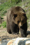 Kamchatka brown bear (Ursus arctos beringianus). A walking huge Kamchatka bear Stock Images