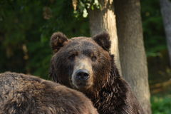Kamchatka Brown Bear Stock Images