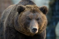 Kamchatka Brown Bear Royalty Free Stock Image
