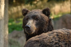 Kamchatka Brown Bear Royalty Free Stock Photography
