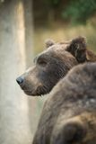 Kamchatka Brown Bear Stock Image