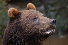 Kamchatka brown bear Ursus arctos beringianus Royalty Free Stock Photography