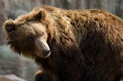 Kamchatka brown bear (Ursus arctos beringianus), Far Eastern bro. Brown bear looking on right and forward stock image