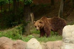 Kamchatka Brown bear. (Ursus arctos beringianus) in the forest Stock Photos