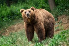 Kamchatka Brown bear Ursus arctos beringianus. stock photo