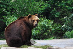 Kamchatka brown bear. (Ursus arctos beringianus) sitting on ground Royalty Free Stock Images