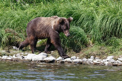 Kamchatka brown bear (Ursus arctos piscator). Russia, Far East Stock Photo