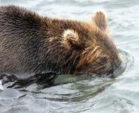 Kamchatka brunbjörn, medan fiska Royaltyfria Foton