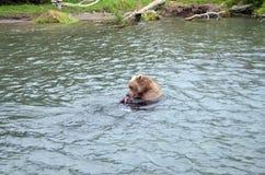 Kamchatka brunbjörn, medan fiska Arkivfoton