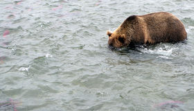Kamchatka brunbjörn, medan fiska Arkivbild