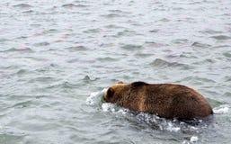 Kamchatka brunbjörn, medan fiska Arkivfoto