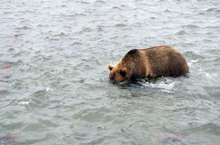Kamchatka brunbjörn, medan fiska Royaltyfri Bild