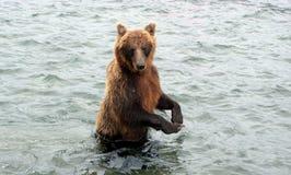Kamchatka brunbjörn, medan fiska Arkivbilder