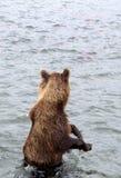 Kamchatka brunbjörn, medan fiska Fotografering för Bildbyråer