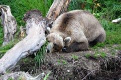 Kamchatka brunbjörn som sover på bankerna av floden Arkivbilder
