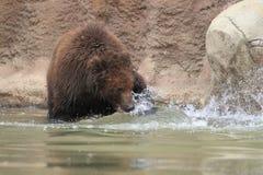 Kamchatka bruntbjörn Arkivbild