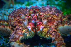 Kamchatka crab close-up. Kamchatka crab, close-up. The biggest crab Royalty Free Stock Image