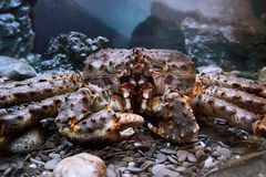 The Kamchatka crab Royalty Free Stock Images