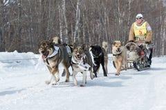 Kamchatka Dog Sledge Race Beringia. Russian Far East, Kamchatka Royalty Free Stock Image