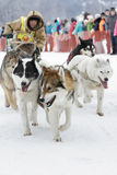 Kamchatka Dog Sledge Racing Beringia. Russian Far East Stock Photo
