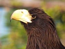Kamchatka eagle Stock Image