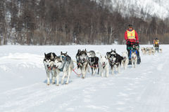 Kamchatka extreme Dog Sled Racing Beringia. Russia, Far East Royalty Free Stock Photography