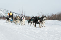 Kamchatka extreme Sled Dog Racing Beringia. Russia, Far East Royalty Free Stock Images