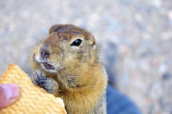 The Kamchatka gopher with cookies Royalty Free Stock Photo