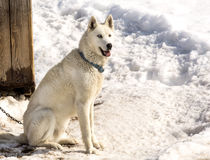 The Kamchatka Huskies with blue eyes in the winter Royalty Free Stock Photography
