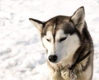 Kamchatka husky w pepinierze dla psów Fotografia Royalty Free