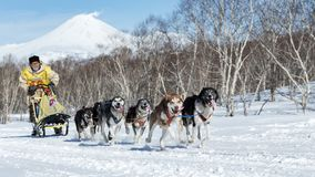 Run Alaskan Sled Dog team Kamchatka musher Vladislav Revenok. KAMCHATKA PENINSULA, RUSSIAN FAR EAST - FEB 25, 2017: Running Alaskan Sled Dog team Kamchatka stock image
