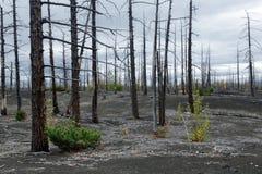 Natural disaster on Kamchatka Peninsula: burnt tree in Dead Wood Dead Forest. Kamchatka Peninsula volcano landscape: burnt tree larch on volcanic slag, ash in royalty free stock image