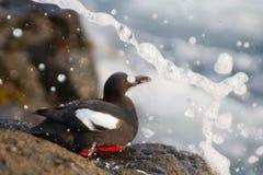 The Kamchatka pigeon guillemot. Cepphus c. columba. Commander Islands Royalty Free Stock Photos