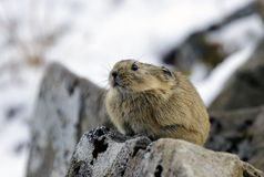 Kamchatka pika. Royalty Free Stock Photo