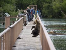 KAMCHATKA, RUSSIA - AUGUST 8 - a young bear climbed onto a woode Stock Image