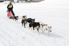Kamchatka Sled Dog Racing Beringia Stock Photo