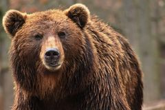 Kamchatkan björn Royaltyfria Foton