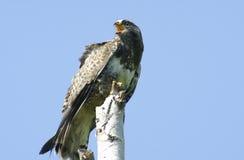 Kamchatkan rough-legged buzzard. Stock Photos