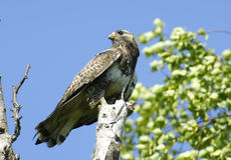 Kamchatkan rough-legged buzzard. Royalty Free Stock Photo